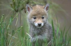 coyote pictures - Google Search