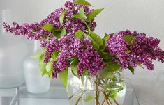 Want the most fragrant plant on earth in your garden? Learn about planting lilac bushes and how to grow them, including how to prune lilacs, and lilac care! Lilac Tree, Lilac Flowers, Wisteria How To Grow, Lilac Varieties, Propagate Succulents From Leaves, Lilac Plant, Dutch Gardens, English Garden Design, Lilac Bushes