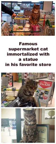 Famous supermarket cat will be immortalized with a statue in his favorite store. Click here for his story and pictures: http://www.traveling-cats.com/2014/01/cat-from-saltney-england.html (Brutus, Saltney, England, supermarket cat, stories about pets, famous cats)