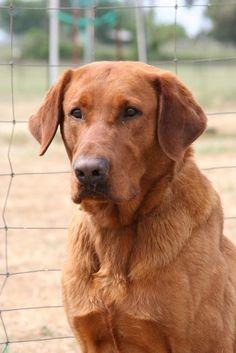 Willson's Duke Rijae Hall is an AKC registered Fox Red (dark Yellow) Labrador Retriever - Tod's grandpa