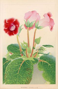Chigusa Soun Flowers of Japan Woodblock Prints 1900 Gloxinia Botanical Drawings, Botanical Illustration, Botanical Flowers, Botanical Prints, Japanese Art Styles, Oriental Flowers, Traditional Paintings, Chinese Art, Chinese Painting