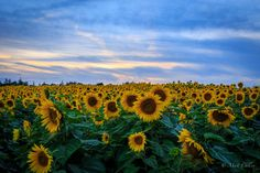 Sunflower Sunset at Colby Farm by Matt Cullen on 500px  #sunset #flowers #massachusetts #photography