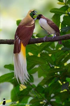 Lesser Bird-of-paradise (Paradisaea minor) couple by KS Kong. scontent- ort2-1.xx.fbcdn.net