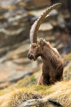 Ibex with massive horns.