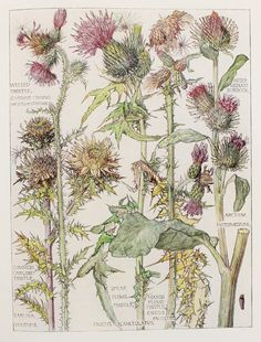 1910 Botanical Print by H. Isabel Adams Daisy by PaperPopinjay, $15.00