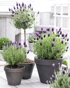 Lavender Anouk a bright and fragrant variety of Lavender. Planted in painted ceramic pot. Perfect fr almost any space indoors or out. Perfect on patio or bay window. These plants would also make a beautiful addition to an outdoor garden.