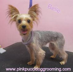 Belle The Yorkshire Terrier « Torrance Dog Grooming Pet Spa Pink Pucci Groomer