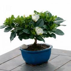 Gardenia Bonsai - Flowering Plants