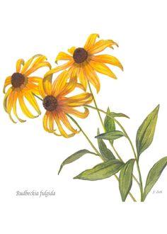 black eyed susan botanical drawing - Google Search