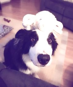 If you love seeing and admiring the beauty of border collies, check out some of the pictures from our community members all over the world!
