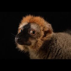 photo by @joelsartore | A red-fronted lemur at the Plzen Zoo in the Czech Republic.Please follow me at @joelsartore for more photos. #joelsartore #beautiful #photooftheday #czech #photoark (by natgeo)