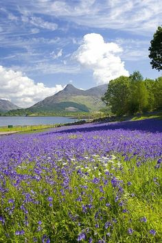 Wild Bluebells in Scotland