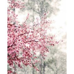 Cherry Blossom Print, Sakura Photo, Pink Snow Flower, Nature... (£9.32) ❤ liked on Polyvore featuring home, home decor, wall art, backgrounds, flowers, pink, cherry blossom, flower stem, pink home decor and flower home decor