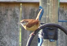Carolina Wren on Suet feeder.  These cute little birds nested in our garage the babies just fledged. Nature is wonderful!