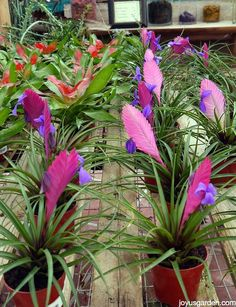 Caring For Bromeliads: What You Need To Know To Grow Them Indoors. Bromeliads are wonderful houseplants. They're colorful & flowering. Here's what you need to know about bromeliad care to grow them indoors. Tropical Garden, Tropical Plants, Tropical Flowers, Air Plants Care, Succulent Landscaping, Ponds Backyard, Water Plants, Home Design, Houseplants