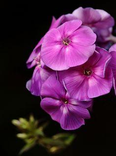 Hardy Phlox paniculata 'Adessa Special Purple Star' flower