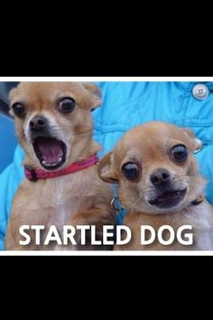 Startled Chihuahuas