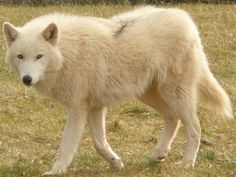 View topic - Alaskan Noble Companion Dog