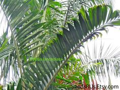 Ivovowo Palm - FREE SHIPPING - Fresh Seeds - Dypsis lanceolata - Topical Plant by SeedsRUs on Etsy