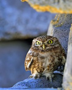 Photograph Little Owl by Young Sung Bae on 500px