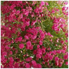 Rose Minnehaha - Rambling Rose