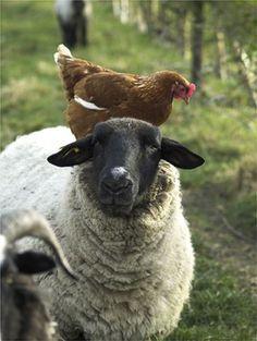 "petitpoulailler: ""animals-riding-animals: chicken riding sheep """