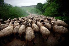 Sheep River by Maciej Grzegorzek, Poland (Sony World Photography Awards/ Maciej Grzegorzek)