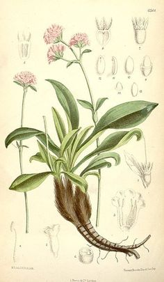 Spikenard oil was known in ancient times and was part of the Ayurvedic herbal tradition of India. It was obtained as a luxury in ancient Egypt, the Near East. In Rome, it was the main ingredient of the perfume nardinum. By Joseph Dalton Hooker Spikenard Essential Oil, Edens Garden Essential Oils, Natural Essential Oils, Herbal Medicine, Illustration Botanique, Botanical Illustration, Botanical Prints, Botanical Drawings, Egypt