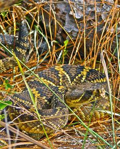 Living Alongside Wildlife: The Only Good Dog is a Dead Dog: Why it Doesn't Make Sense to Kill Venomous Snakes in your Yard