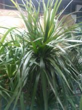 Is It True That Dracaena Poisonous To Cats And Dogs Is