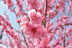 ピンク色の桃の花のクローズアップ