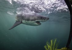 Il video da paura dell'enorme squalo bianco che attacca un sottomarino Shark Jaws, Great White Shark, Playstation, Whale, Animals, Hu Ge, Whales, Animales, Animaux