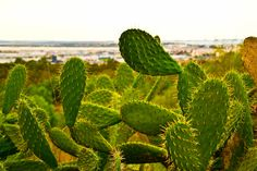 """""""""""prickly"""" affairs"""" by Fernando Cabeza, via South Of Spain, Cadiz, Andalusia, Affair, Plant Leaves, Plants, Pictures, Photos, Plant"""