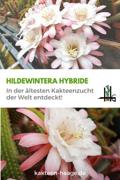Heute gefunden in der ältesten Kakteenzucht der Welt: Hildewintera Hybride!  #kakteenhaage #haagelife #ulrichhaage #hildewintera #kaktus #cactus #ilovecactus