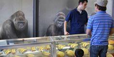 Gorilla Sales Skyrocket