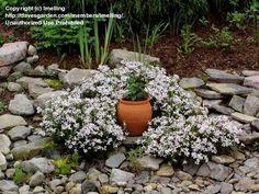 Full size picture of Bog Rosemary, Common Bog Rosemary, Marsh Andromeda (<i>Andromeda polifolia</i>)