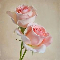 You've found the most woderful flowers , roses & gardens photos. Beautiful Rose Flowers, Romantic Roses, Rose Cottage, Rose Buds, Pink Roses, Pretty In Pink, Flower Arrangements, Garden Design, Nature Photography