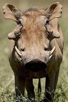 Let's Go Wild — Warthog, Phacochoerus Distinctly ugly wild pig,. much like Brandy Booth but much skinnier Ugly Animals, Cute Animals, Ugliest Animals, Strange Animals, Wild Animals Pictures, Animal Pictures, Beautiful Creatures, Animals Beautiful, Animal Original
