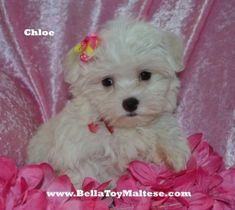 Toy Maltese Puppies - Bella Toy Maltese