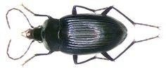 Family: Carabidae Size: 10 mm Location: Indonesia, Irian Jaya, Mokwam leg. A.Skale, 2007; det. M.Baehr, 2007 Paratypus Photo: U.Schmidt, 2007