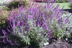 Love Mexican Sage. Takes care of itself and looks beautiful all summer and late into the winter.