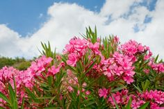 """Discover the incredible story of oleander extract for cancer -- a traditional cancer """"cure"""" used by Turkish villagers. Natural Cancer Cures, Natural Cures, I Hate Cancer, Beat Cancer, Effects Of Chemotherapy, Cancer Fighting Foods, Nerium, Cancer Treatment, Mint"""