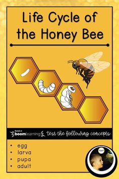 Life Cycle of the Honey Bee  A quiz to test knowledge about the life cycle of the Honey Bee, covering concepts such as: egg larva pupa adult  #montessori materials 3-6 #montessori materials 6-9 #montessori materials #homeschool learning #honey bee #honeyb