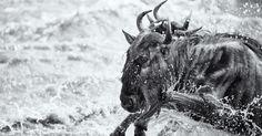 Um gnu inicia sua jornada para atravessar o rio Mara, rumo ao Quênia. O registro foi feito pelo fotógrafo norte-americano Andy Lernere e concorre ao prêmio de melhor imagem, promovido pelo site de fotografia The Open.
