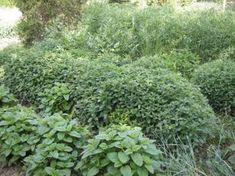 Fűszer és gyógynövények Permaculture, Health, Plants, Gardening, Health Care, Lawn And Garden, Plant, Planets, Horticulture