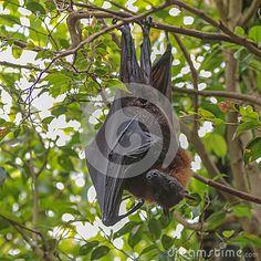 Fox летания (крылан) - Скачивайте Из Более Чем 28 Миллионов Стоковых Фото, Изображений и Иллюстраций высокого качества. изображение: 43114715