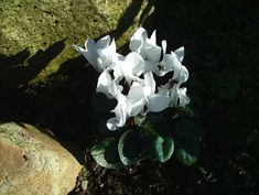 Carlingford- Templetown- The Breakers Chinese Garden- white cyclamen-