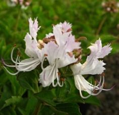 Cat's Whiskers, Katsnor, Ufukuzela - Becium obovatum - Gardening in South Africa Flora, Plants, Garden, Whiskers, Diy Garden Projects, Small Plants, Flowers, Greenhouse, Waterwise Garden