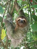 The sloth is a peculiar animal in the jungles of South America. It is a living demonstration that the slow, sometimes, help to survive.    The sloth is a mammal and there are two types: the two clutches and three. They differ among themselves, inter alia, in that three claws is longest than two.    This bear spends most of her life upside down. The lazy eats, sleeps, mates and even stop their young hanging from trees with their claws.