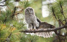 Great grey owl - photography, birds, pine, abstract, predators, nature, grey owl, wallpaper, wild animals, predatory birds, animals, HD, wildlife, owl, wilderness, wild